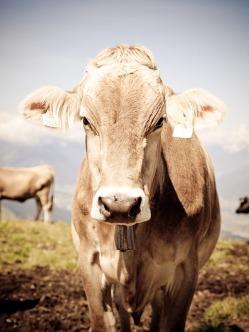 cow-776730_640