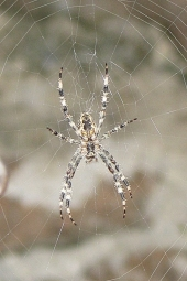 090910b_Orb-weaver_spider_Radnetzspinne