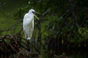 Kanadareiher (c) Florida Keys Wild Bird Center