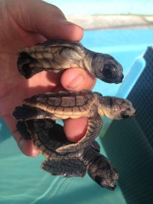 Kleine Meeresschildkröten (c) Turtle Hospital